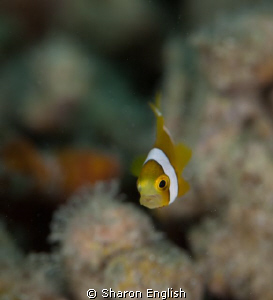 Juvenile Anemonefish by Sharon English 